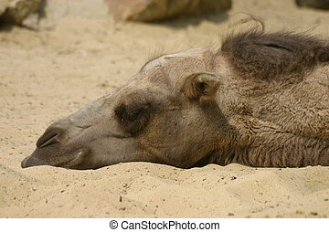 Dromedary, laying in sand