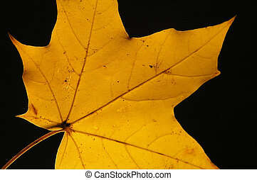 Yellow maple leaf on black background