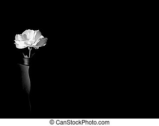 White Rose - Light paining on white rose on black background