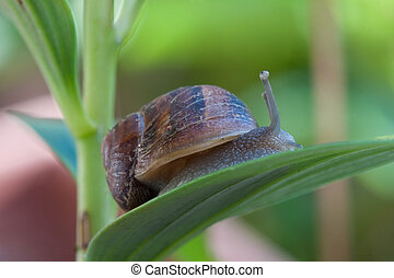 Garden Pest or french delicacy - A slimy snail moves along a...