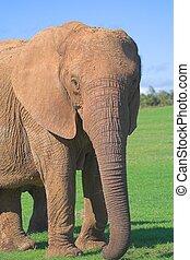 weibliche, elefant