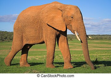Male Elephant - African Elephant Bull on the grass plains of...