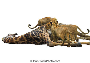 Lion Feast - Lions feasting on a giraffe, isolated on a...