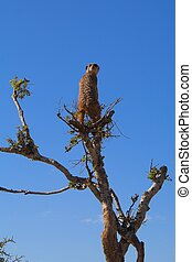 Meerkat Scout - Meerkat in a tree keeping a lookout for...