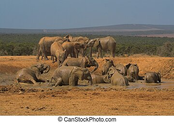 Family day at the watering hole for an Elephant family