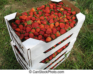 Flats of Strawberries - stack of cardboard flats full of...