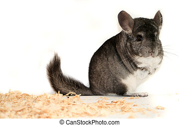 chinchilla - pet chinchilla portrait