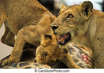 Lions feeding - Female lioness protecting cub feeding on...