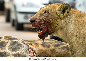 Bloody Lioness - Lioness with blood in her face from feeding...