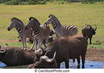 Zebra and Buffalo - Zebra and buffalo at the watering hole