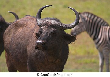 Cape Buffalo - Cape buffalo with zebra in the background
