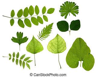 folhas, verde, isolado