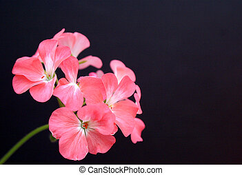 Pink Geranium - Pink petaled Geranium Blossom on Black...