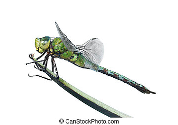 Isolated Dragonfly - Isolated dragonfly on leaf; species is...