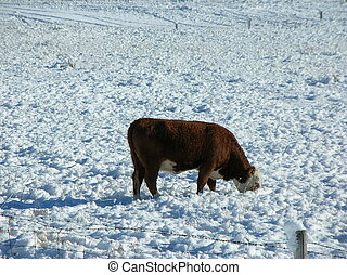 steer in the snow - a steer forages in the snow