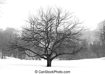 Apple tree in winter, black and white
