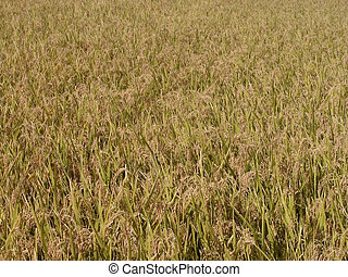 Autumn rice field texture - Aspect from a rice field during...