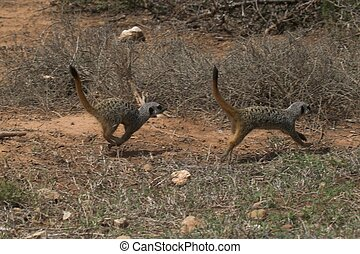 Meerkats running from danger
