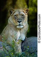 Animal - Lioness - A lioness lazing on a rock staring at the...