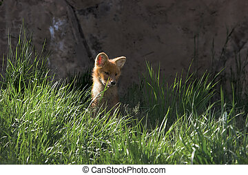 Asian wild dog - pup - Asian wild dog pup watching its...