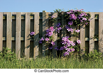Clamatis vine climbing on wooden fence - Purple Clamatis on...