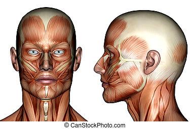 Face Muscles - A 3d rendered imaged of a male face showing...