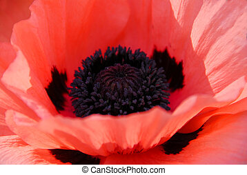 Poppy macro - Poppy flower macro