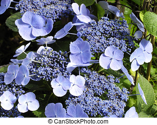 Blue hydrangea - Blossoms and buds of blue billow lacecap...