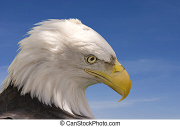 Eagle - Bald eagle with blue sky background
