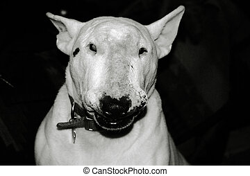 English Bull Terriers are known as the clowns of the canine...