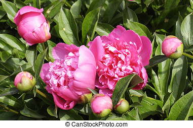 "Paeonia in garden - Paeonia time of prosperity. ""Roses..."