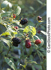 Blackberries 2 - Blackberries ready to pick