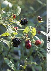Blackberries 2 - Blackberries ready to pick.