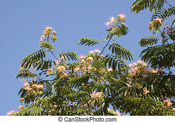 Mimosa - A mimosa tree with its spring blooms
