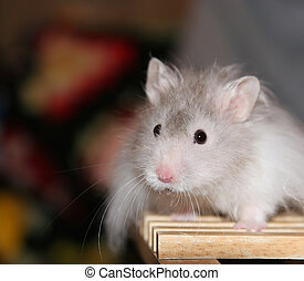 Hamster - Grey and white hamster