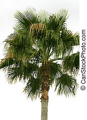 Palm Tree - Palm tree on white background