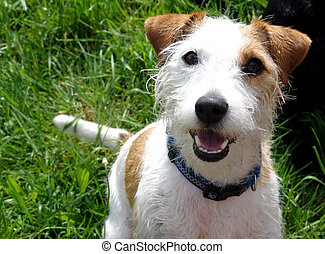gato, Russell, terrier