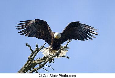 calvo, águia, aterragem