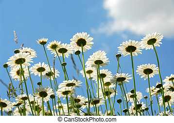 Daises with blue sky - Summer daises with blue sky landscape
