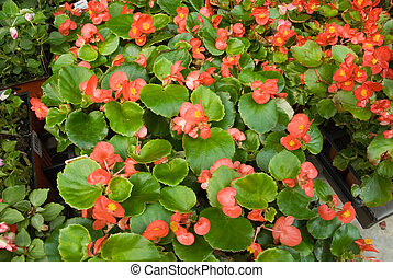 Begonias at the Greenhouse Market - Flats of tuberous...