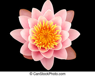 Pink Lotus Flower - A Pinky lotus flower in a pond