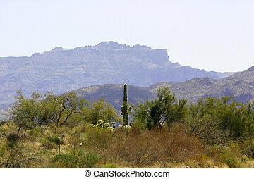 Desert Landscape - Saguaro cacti flourish in the arid...
