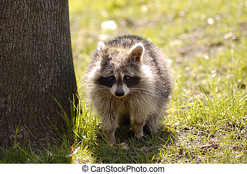 Raccon in daylight - Raccoon in plain daylight near...
