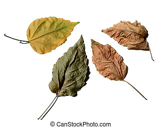 Four leaves - four leaves on white background