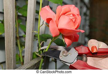 Pruning - Rose Pruning
