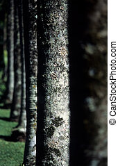 Tree line - Line of trees in a botanical garden