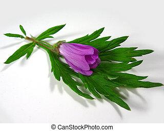 púrpura, flor, hoja