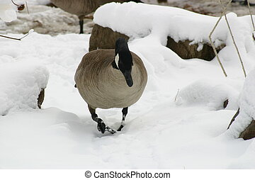 Goose in Snow - A plump Canadian gander stalks the...