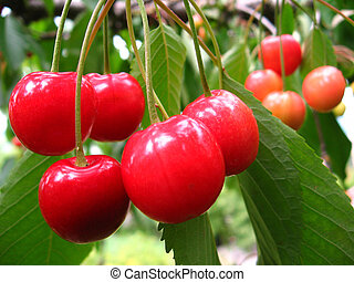 Cherries in the tree - Red cherries in the tree with leaves