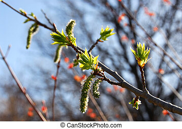 Budding leaves spring - Flowering tree branch with budding...